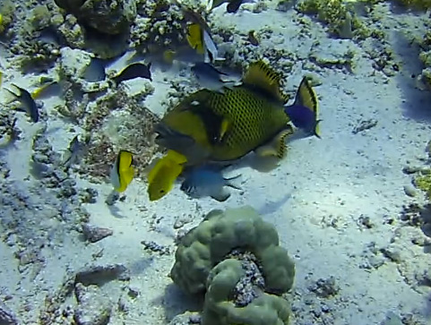 Triggerfish image from video