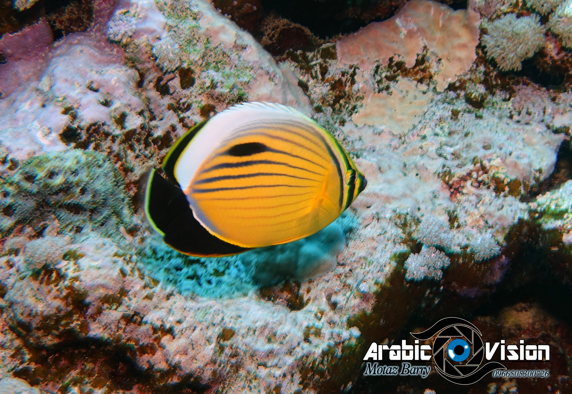 Butterfly fish picture by Motaz Barry
